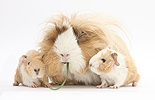 Mother Guinea pig and babies