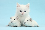 Baby white Guinea pigs and white kitten
