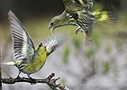 Siskins fighting