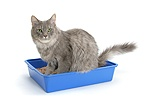 Maine Coon cat using a litter tray