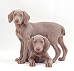 Two Weimaraner pups, 9 weeks old