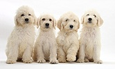Four Labradoodle pups, 9 weeks old