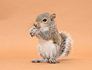 Young Grey Squirrel eating hazelnut on brown background
