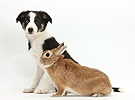 Odd-eyed Tricolour Border Collie pup and rabbit