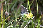 Small Blue butterfly