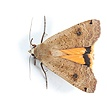 Lesser Yellow underwing moth