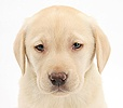 Yellow Labrador Retriever pup, 7 weeks old