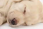Sleeping Yellow Labrador Retriever pup, 8 weeks old