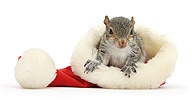 Young Grey Squirrel in a Santa hat