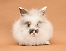 Young fluffy rabbit on brown background