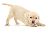 Yellow Labrador Retriever puppy, in play-bow