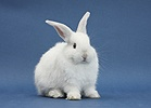 Young white rabbit on blue background