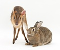 Muntjac deer fawn and agouti rabbit