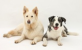 White Alsatian and Border Collie