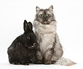 Persian x Birman cat and black rabbit