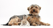 Yorkie and baby rabbits