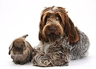 Brown Roan Italian Spinone dog and rabbit