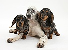 Blue Belton English Setter with Dachshund pups
