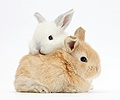 White and sandy baby rabbits
