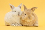 White and baby sandy rabbits on yellow background