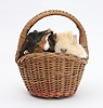 Baby Guinea pigs in a wicker basket