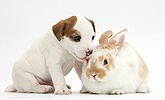 Jack Russell Terrier puppy, 4 weeks old, and young rabbit