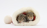 Young Grey Squirrels in a Santa hat