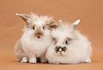 Young fluffy rabbits on brown background