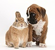 Boxer puppy and rabbit