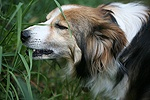 Sable border collie Teal eating grass
