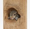 Young Grey Squirrel looking out of a hole