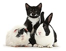 Tuxedo kitten with Dutch rabbit and Guinea pig