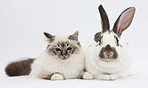 Tabby-point Birman cat and brown-and-white rabbit