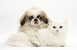 Pekinese pup and white kitten