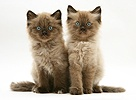 Chocolate Birman-cross kittens