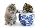 Maine Coon kittens playing with a blue china pot