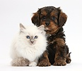 Black-and-tan Cavapoo pup and blue-point kitten