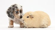 Dapple Dachshund pup and Guinea pig