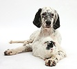 Blue Belton English Setter with Guinea pig
