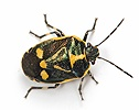 Brassica Shield Bug