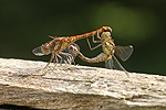 Common Darter Dragonfly pair