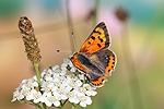 Small Copper Butterfly on Yarrow flower