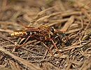 Hornet robber fly with prey