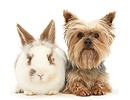 Young brown-and-white rabbit and Yorkie