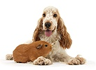 Orange Cocker Spaniel and Guinea pig