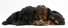 Sleeping black-and-tan Cavapoo pups