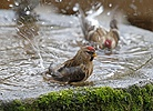 Redpoll bathing