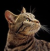 Tabby cat profile portrait