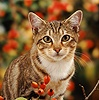 Portrait of tabby cat among rosehips