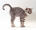 Friendly silver spotted kitten arching back